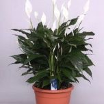 Spathiphyllum Claudius - Lepelplant ↕ 70cm