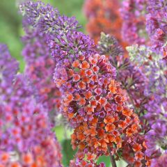 Buddleja weyeriana 'Flower Power'