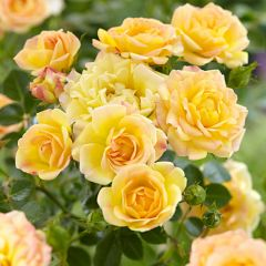 Rosa the Fairy 'Yellow'