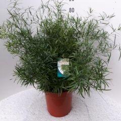 Asparagus falcatus ↕ 80cm