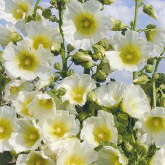 Alcea rosea 'Pleniflora' Wit