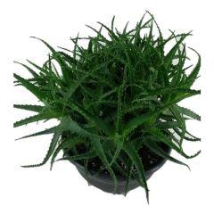 Aloe Arborescens - Wonderplant ↕ 40cm