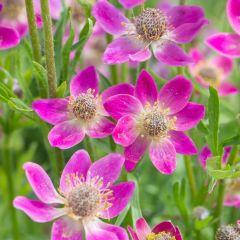 Anemone multifida 'Annabella Deep Rose'