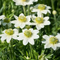 Anemone multifida 'Annabella White'