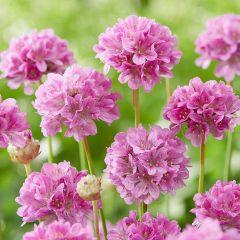 Armeria pseudarmeria 'Ballerina Purple Rose'