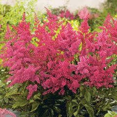 Astilbe arendsii 'Astary Red'