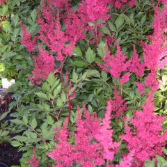 Astilbe arendsii 'Astary Rose Shades'