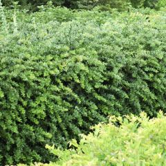 Berberis frikartii 'Amstelveen' - Zuurbes