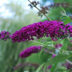 Buddleja davidii 'Royal Red'