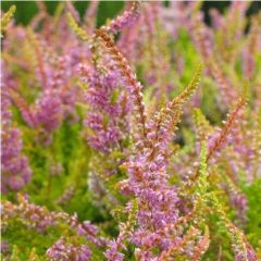 Calluna vulgaris 'Warm Chocolate'