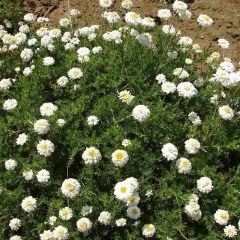 Chamaemelum nobile 'Ligulosum'