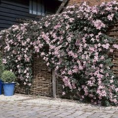 Clematis montana 'Mayleen' - Bosrank