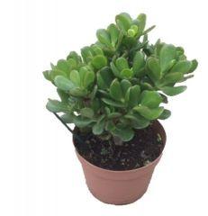 Crassula Ovata - Jadeplant ↕ 45cm