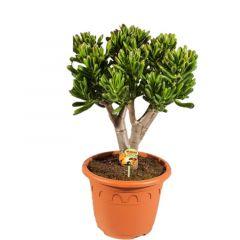 Crassula Red Horn Tree - Jadeplant ↕ 70cm