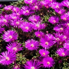 Delosperma cooperi Table Mountain