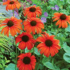 Echinacea 'Tangerine Dream'