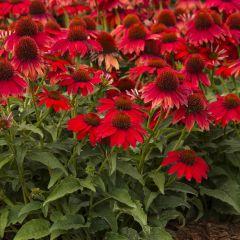 Echinacea purpurea 'Sombrero Salsa Red'