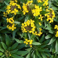 Erysimum suffruticosum 'Goldstaub'