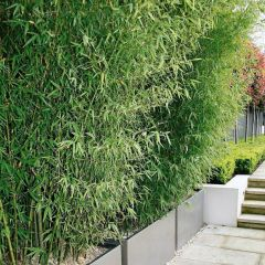 50 x Fargesia murieliae 'Panda' - Bamboe