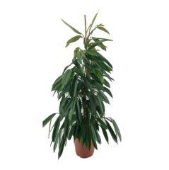 Ficus Amstel King - Vijgenboom ↕ 150cm