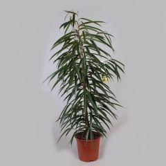 Ficus Bin Alii - Vijgenboom ↕ 110cm
