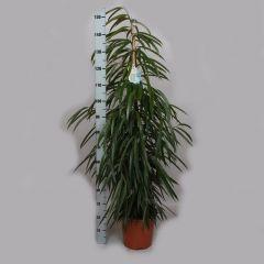 Ficus Alii - Vijgenboom ↕ 140cm