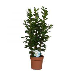 Ficus Moclame - Vijgenboom 3 toef ↕ 90cm
