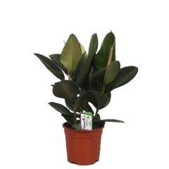 Ficus elastica Robusta - rubberplant ↕ 90cm