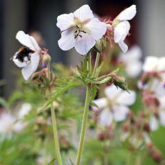 Geranium cantabrigense 'St. Ola'