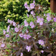 Geranium maculatum 'Expresso'