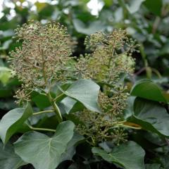 Hedera helix Arborescens
