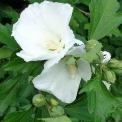 Hibiscus syriacus 'Totus Albus'