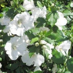 Hibiscus syriacus 'William R. Smith'