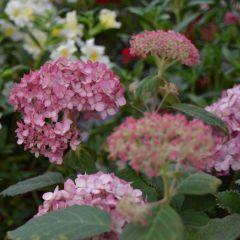 Hydrangea arborescens 'Ruby Annabelle'