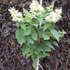 Hydrangea paniculata 'Bobo' op Stam