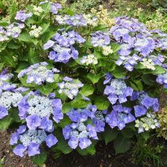 Hydrangea 'Teller Blue'