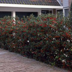 10 x Ilex aquifolium - Gewone Hulst