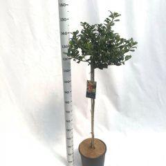 Ilex aquifolium 'JC van Tol' op stam met hoogte 100cm