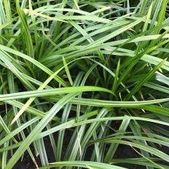 Carex foliosissima Irish Green