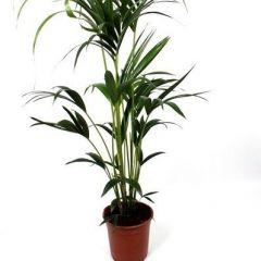 Howea Forsteriana - Kentia Palm ↕ 130cm