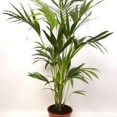 Howea Forsteriana - Kentia Palm ↕ 165cm