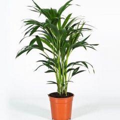 Howea Forsteriana - Kentia Palm ↕ 90cm
