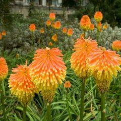 Kniphofia uvaria Grandiflora