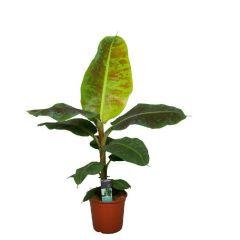 Musa dwarf 'Cavendish' - Bananenboom ↕ 105cm