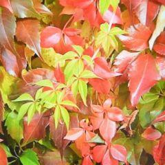 Parthenocissus quinquefolia 'Engelmanni'
