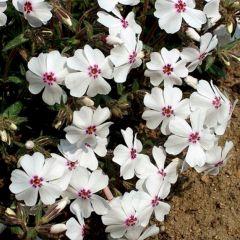 Phlox subulata 'Amazing Grace'