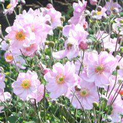 Anemone hybrida Königin Charlotte