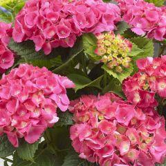 Hydrangea macrophylla 'Little Pink'