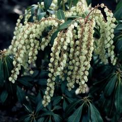 Pieris japonica 'White Cascade'