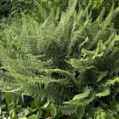 Polystichum setiferum 'Proliferum'
